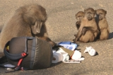 The Sad Demise of Fred the Baboon